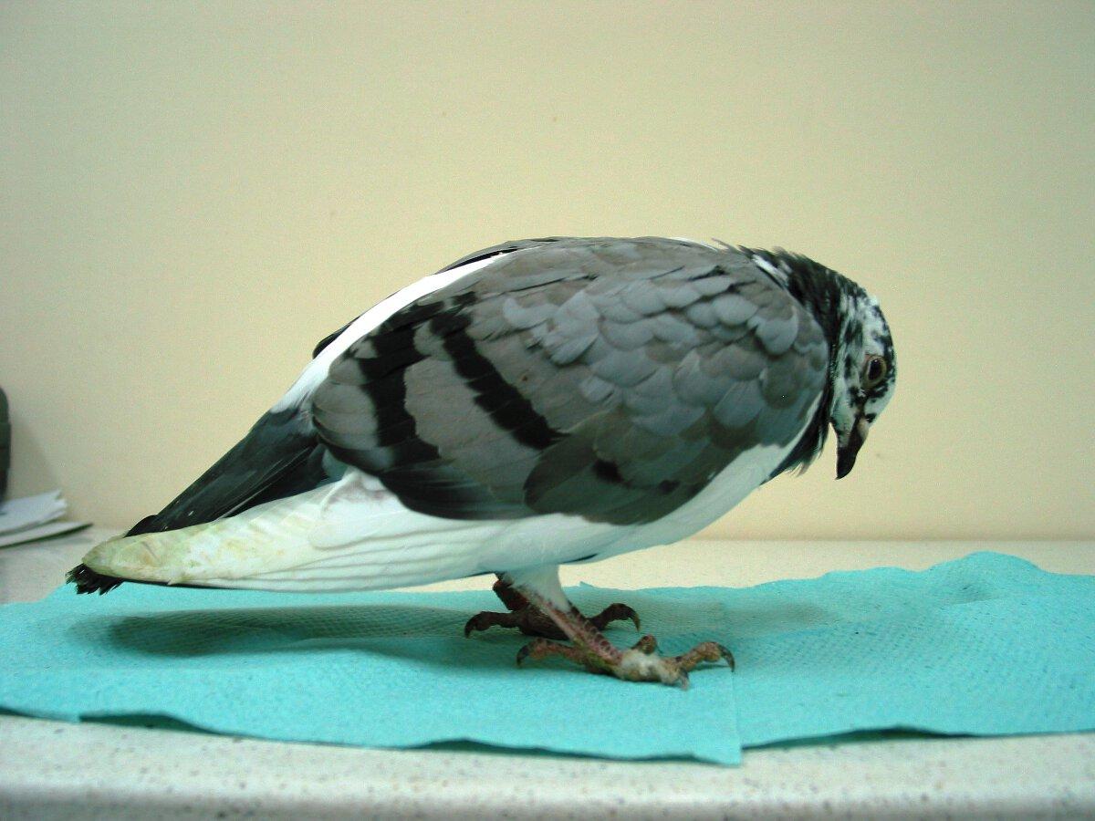 Młódek w końcowym stadium choroby młodych – ptaków na tym etapie choroby gołębi z reguły nie udaje się już uratować.